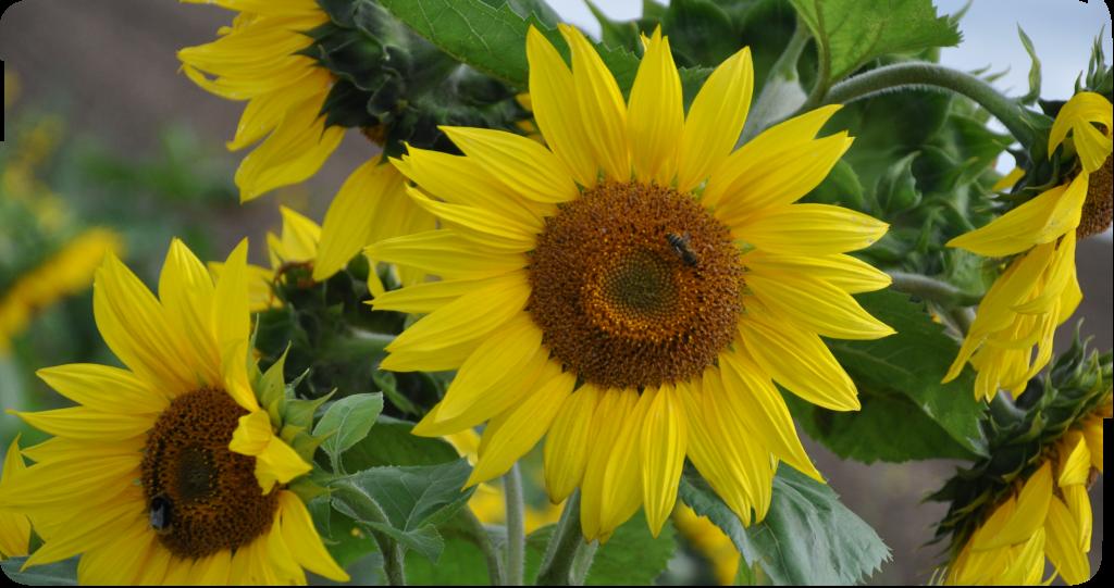 Sonnenblumen_DSC_0786
